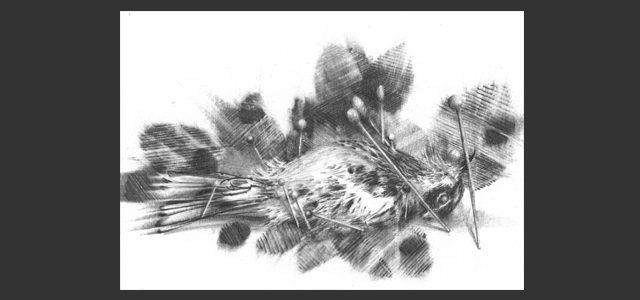 Yellow-Rumped Warbler Scientific Specimen